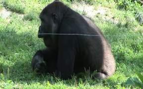 Gorillas II