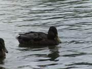 Cute Brown Ducks