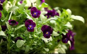 Violet Pansy