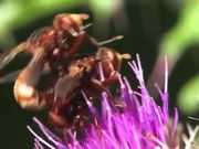 Mating of Sicus ferrugineus in Macro