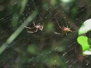 Mating Behaviour of the Money Spider in Macro