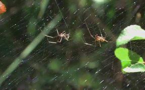 Mating Behaviour of the Money Spider in Macro