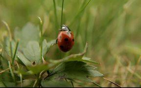 Ladybug, Ladybird