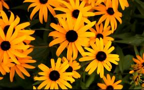 Sunflower Like