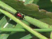 Weevils Mating in Macro