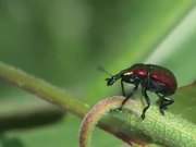 Weevils Mating in Macro