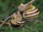 Grove Snails Mating in Macro