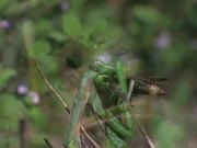 Praying Mantis Captures a Grasshopper in Macro