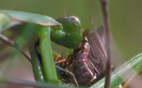 Praying Mantis Captures a Grasshopper in Macro