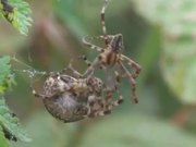 Mating Behaviour of European Garden Spiders