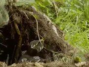 Honey Buzzard Plundering a Nest