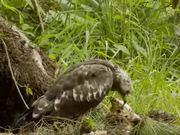 Honey Buzzard Plundering a Nest