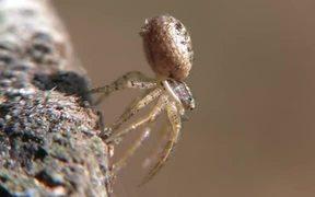 Crab Spider (Xysticus audax) in Macro