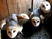 Three Barn Owls Hissing and Clicking