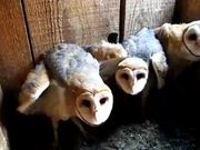 Three Barn Owls Hissing and Clicking