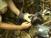 Catching Giant Coconut Crab Alive