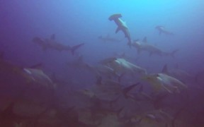 The Hammerhead Shark near Costa Rica