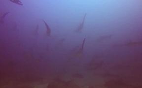 The Hammerhead Shark near Costa Rica