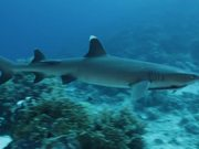 White Tip Reef Shark in Habitat