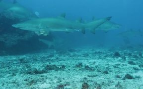 Grey Nurse Sharks at Flat Rock Сomes Сlose