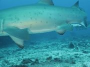 Grey Nurse Sharks at Flat Rock Сomes Сlose