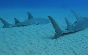 Stunning Guitar Sharks