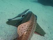 Leopard Shark Hangs Out with Remoras Close Up