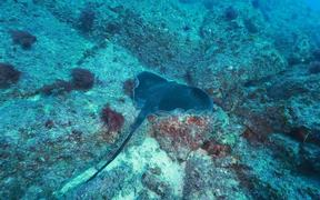 Bull Ray Hanging Out Close Up