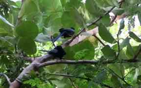 Mexican Blue Jays Chattering