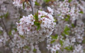Japanese Cherry Bloom