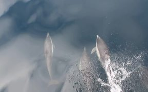 Dolphins Swimming in Front of the Boat