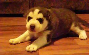 Baby Husky Howls