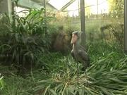 Lunch for a Shoebill - Strange Funny Bird