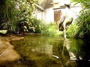 Lunch for a Shoebill - Strange Funny Bird