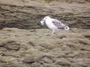 Seagulls and Crows are Fighting for Fish Feed