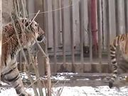Tiger Mate in Zoo
