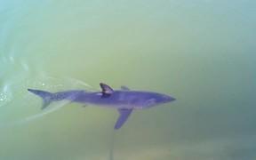 Mako Shark inside Dana Point Harbor