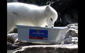 Fishing Arctic Fox