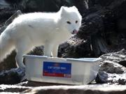Fishing Arctic Fox