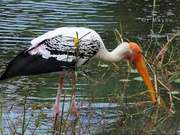 A Painted Stork Wading For Something To Eat