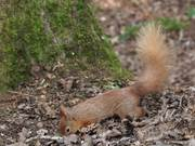 Squirrels at Alverstone Mead