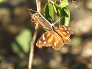 American Snout Butterfly Courtship
