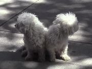 Cute White Dogs Sitting On Sidewalk