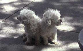 Cute White Dogs Sitting On Sidewalk