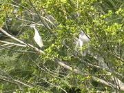 Sarasota Jungle Gardens - Birds at the Lagoon