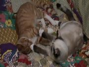 Young Cats Play-Fighting and Cleaning