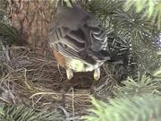 Robin in Nest