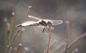 Huge Dragonfly