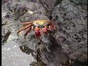 Sally Lightfoot Crabs Dance
