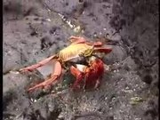 Sally Lightfoot Crabs Dance
